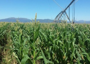Qamata / Bilatye Maize Expansion Project
