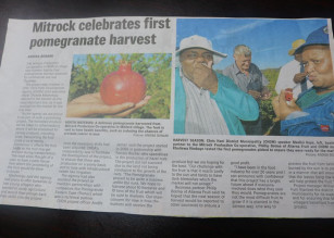 Mitrock celebrates first pomegranate harvest